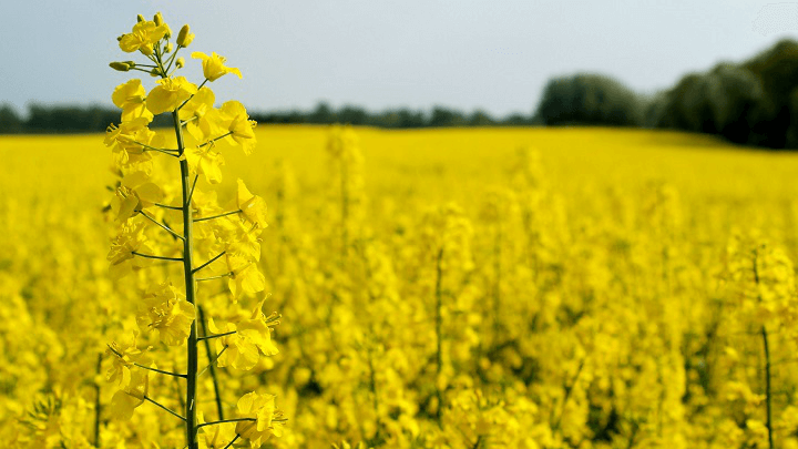 Exports of Ukrainian rapeseeds are the lowest  in last 10 years