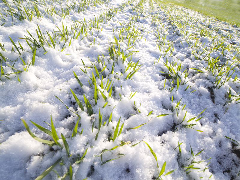 Winter crops grown on the 95% areas in Ukraine