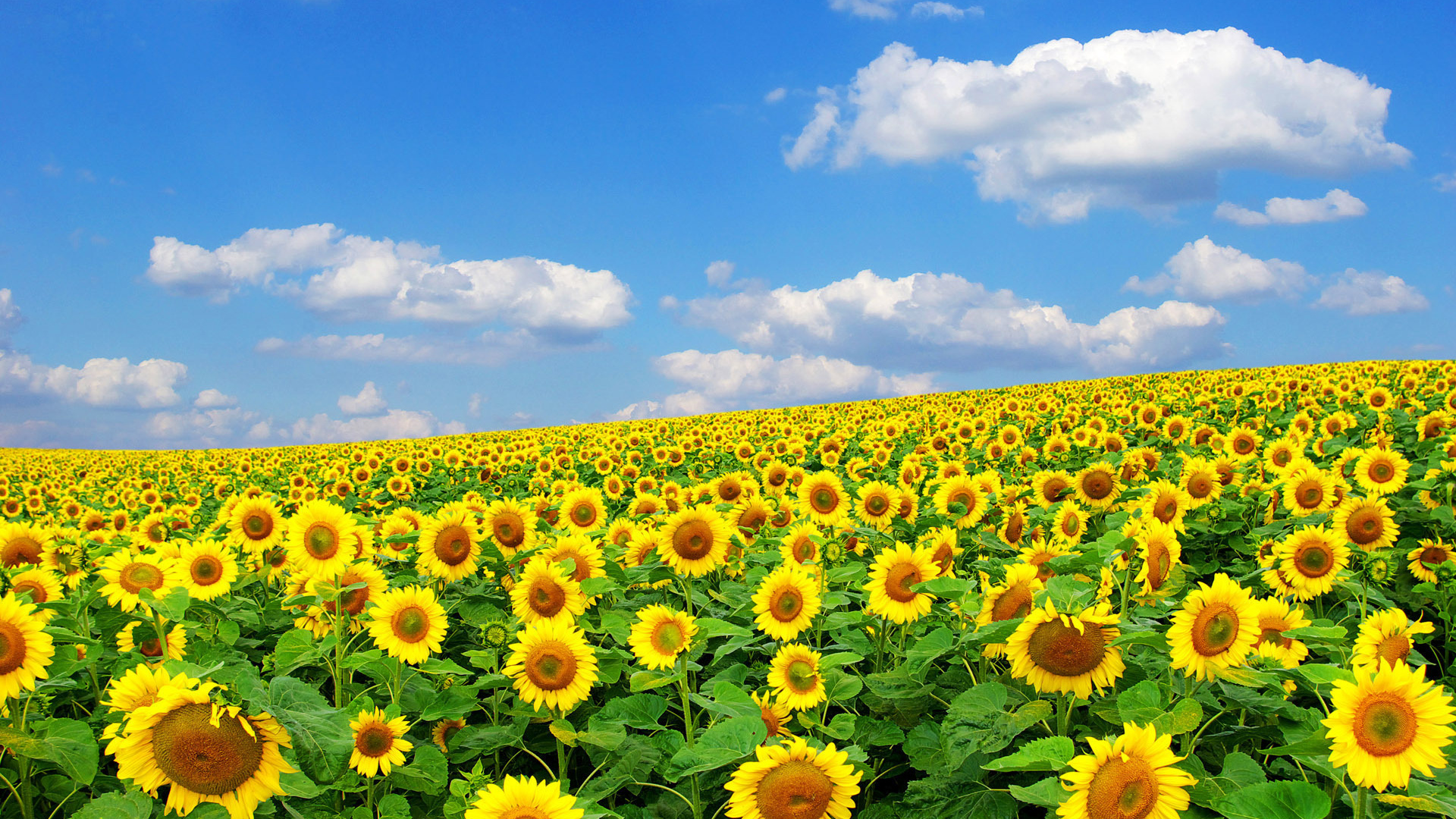 How the sunflower oil have appeared: history of production