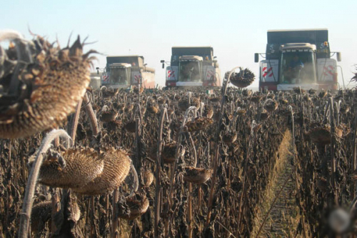 How to harvest sunflower seed for large-scale production
