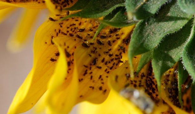 PESTS THAT AFFECT SUNFLOWER HARVEST