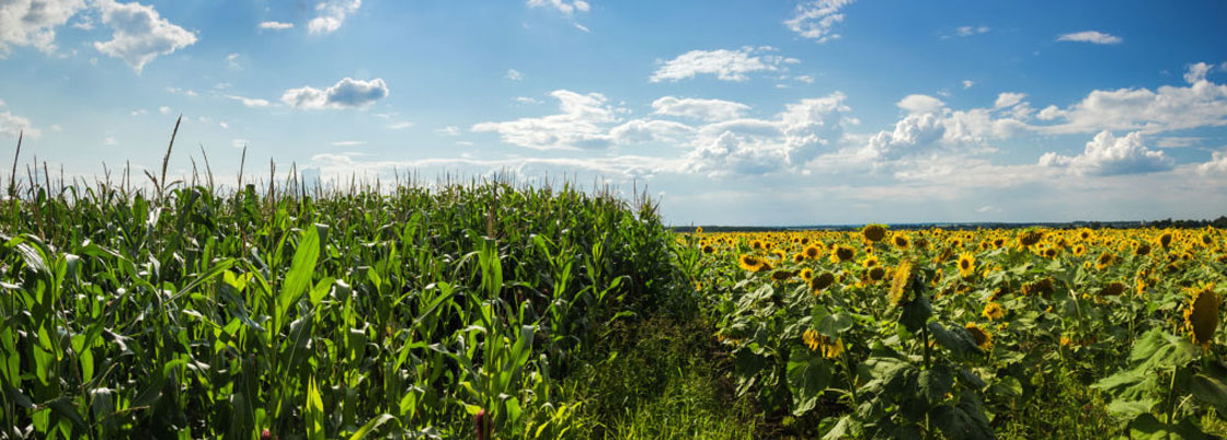 Export of corn and sunflower seeds increased