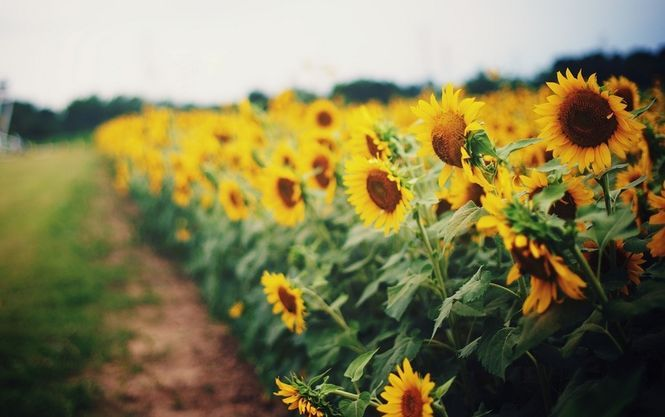 11,9 million tons of sunflower are processed in Ukraine during 11 months of 2017