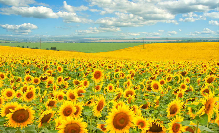 Production of the Ukrainian sunflower grows: it is +15% in this season
