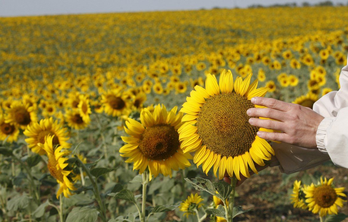Ukraine is one of the leaders in the production of sunflower oil