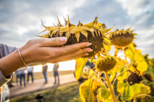 The processing of sunflower demonstratеs the record showings