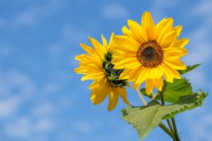 Ukraine doubled the export of high oleic sunflower oil
