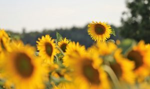 Sunflower oil production increased by 15% in Ukraine