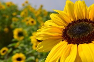 Ukraine topped the list of sunflower producing countries for 2019