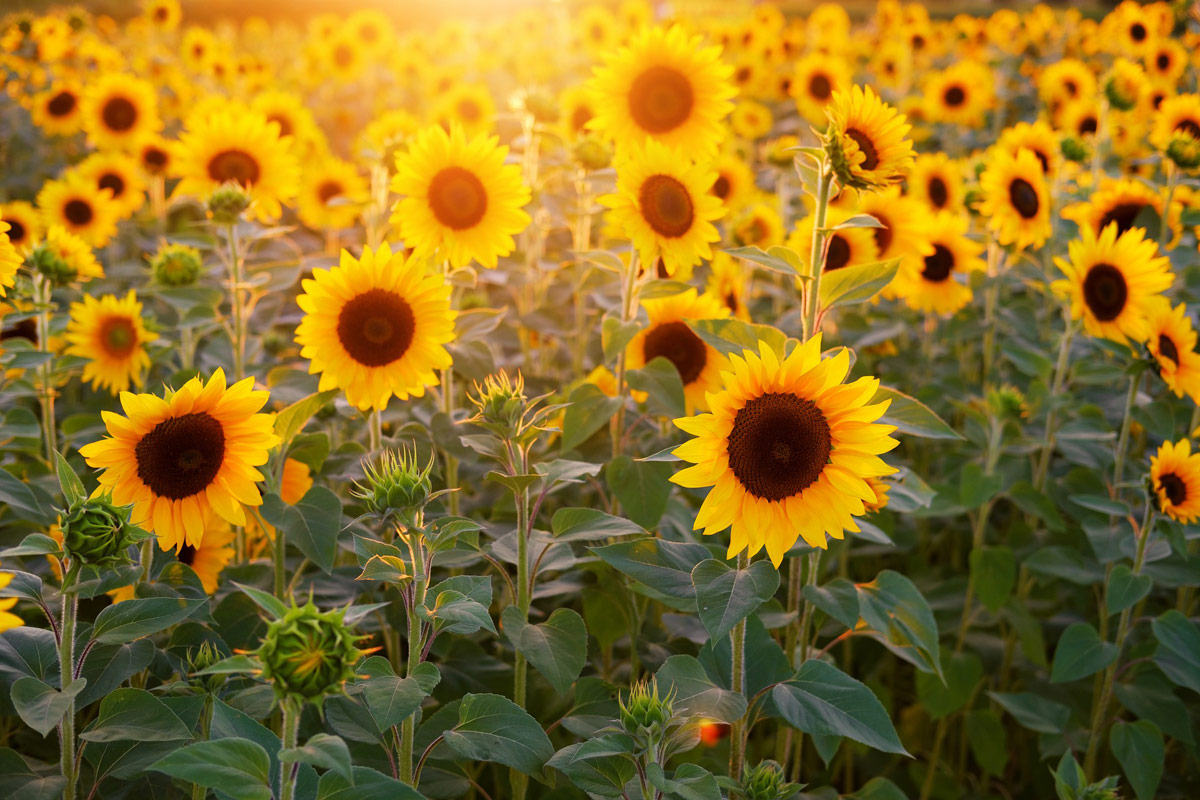 How much profit does Ukraine receive from the supply of sunflower oil?