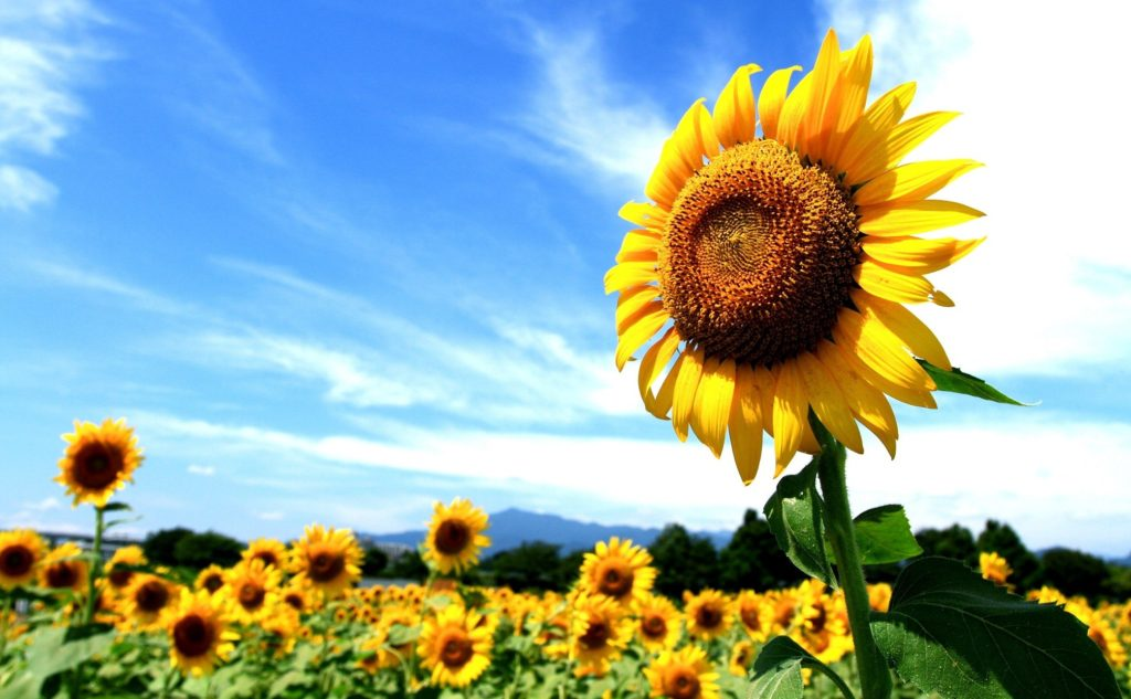In the 2020-2021 MY, the growth of world sunflower production is expected