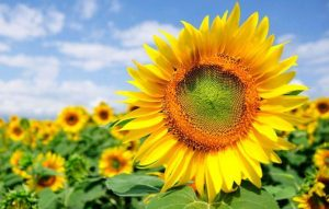 A record sunflower harvest is expected in Ukraine in 2020
