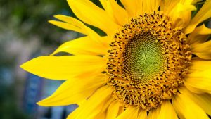 Ukraine became a leader in sunflower oil supplies to EU