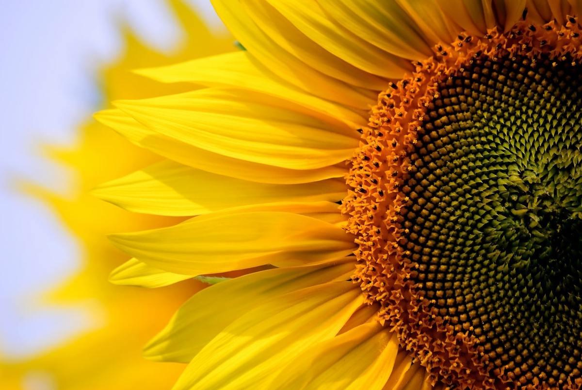 Эксперты прогнозируют рост урожая подсолнечника в Украине