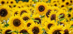 Sunflower exports are up compared to last year
